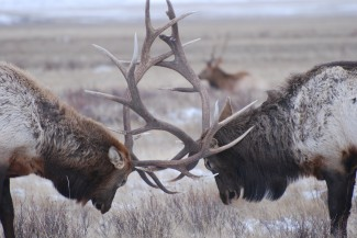 The National Elk Refuge Sleigh Ride is a must while in Jackson Hole. A knowledgeable guide take you on a tour of the refuge and the wildlife that inhabits it.
