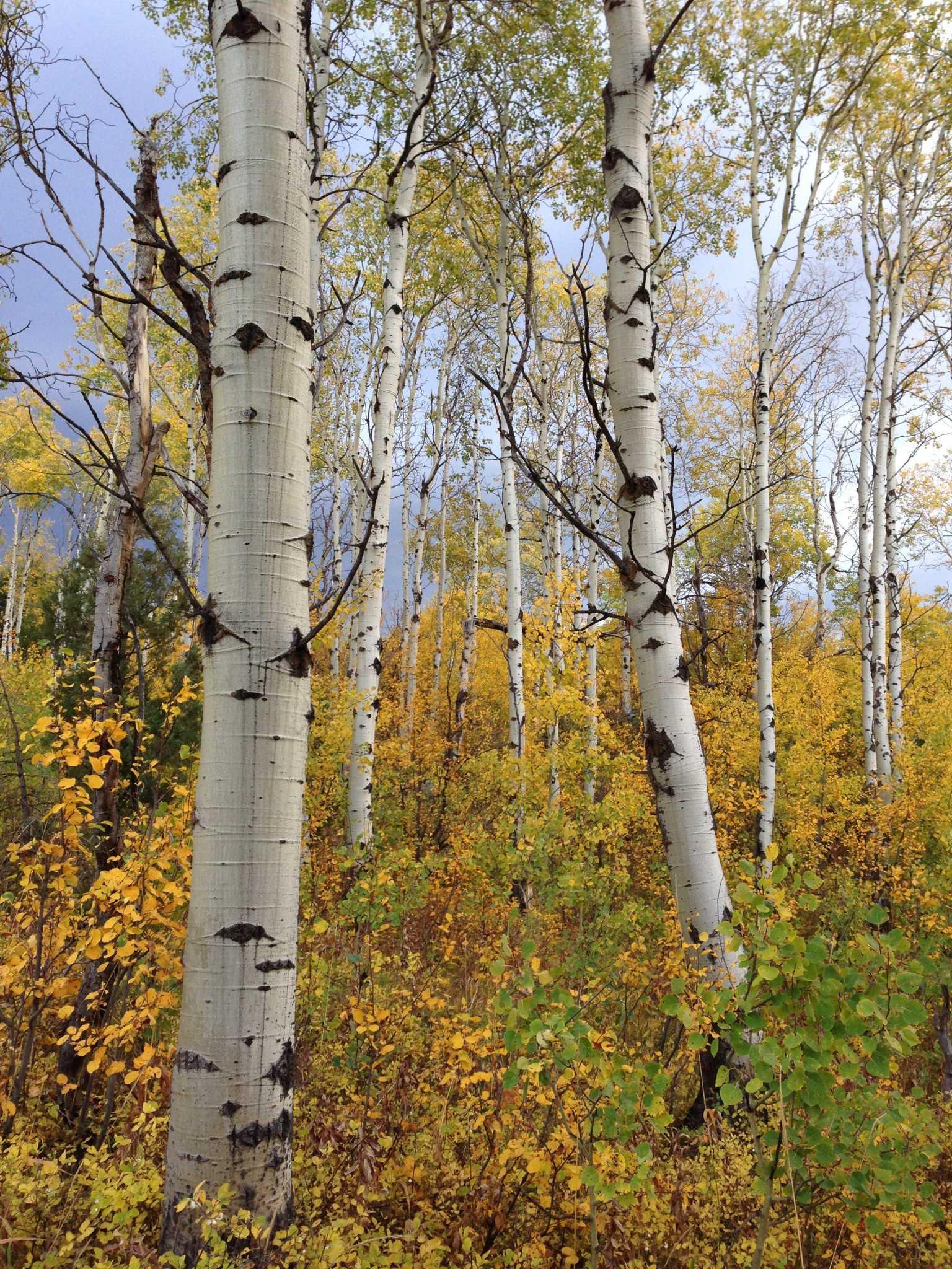 Jackson Hole Fall Autumn Leaves